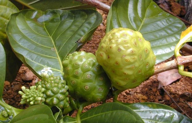 trái nhàu hỗ trợ bệnh giảm tiểu cầu (11)