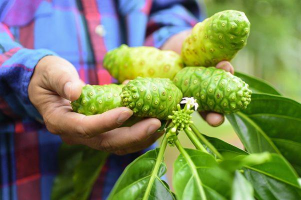 trái nhàu hỗ trợ chữa trị bệnh khớp (2)