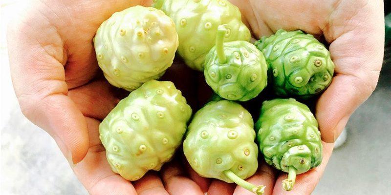 trái nhàu hỗ trợ chữa trị bệnh khớp (3)