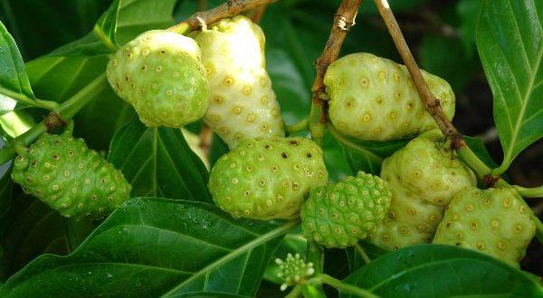 trái nhàu trị đau lưng (7)